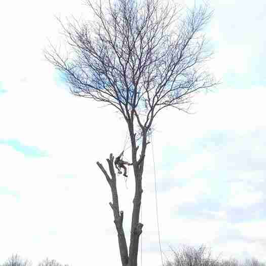 Large tree removal with climber