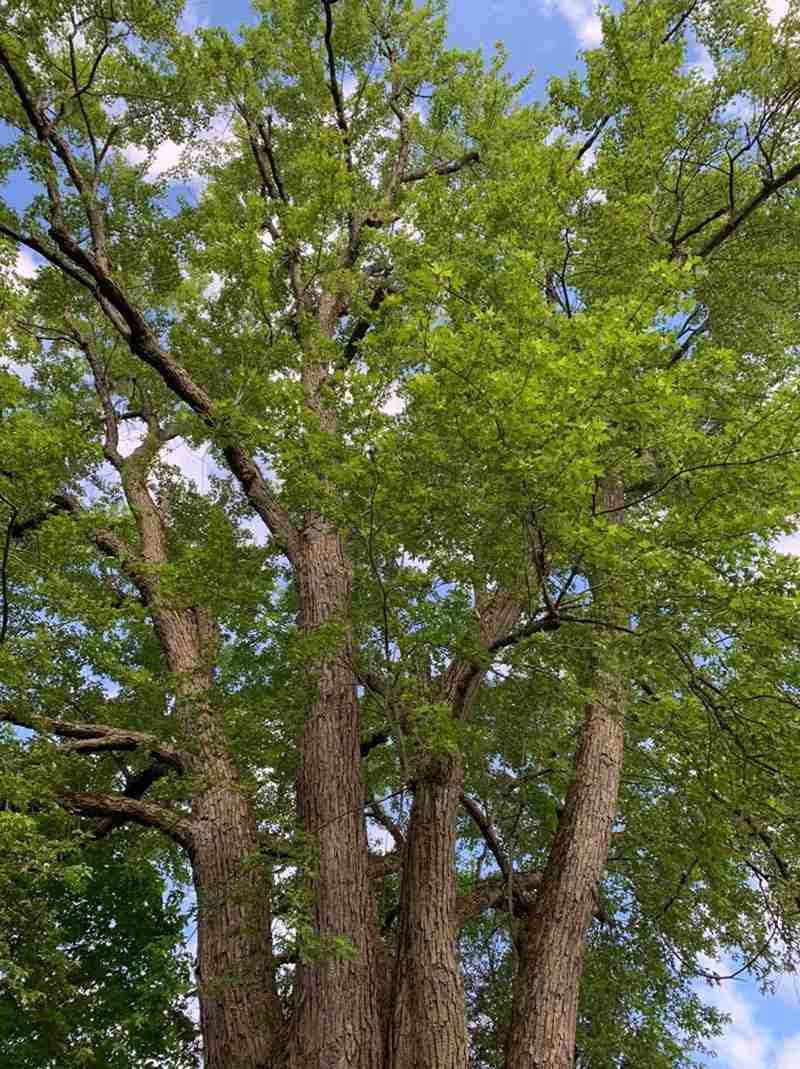 Massive Silver Maple tree removal is about to begin